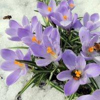Апрельские крокусы. :: Hаталья Беклова