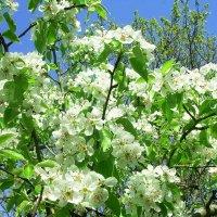 Расцветали яблони и груши... :: татьяна