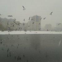 Чайки :: Сапсан