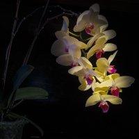Орхидея :: Сергей Цветков
