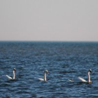 Лебеди на море :: Александр Довгий