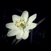 Весна в белом :: Swetlana V