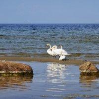Лебеди-шипуны :: Helga Preiman