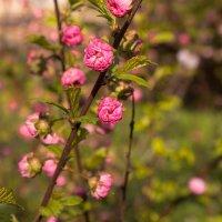 Один раз в год сады цветут.. :: Надежда