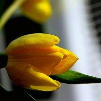 Желтые тюльпаны... :: Валерия  Полещикова