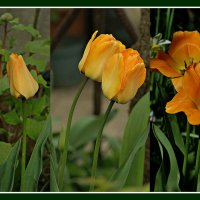 тюльпаны: эволюция :: Александр Корчемный
