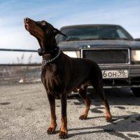 Доберман и Volvo :: Илья Матвеев