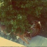 Тигры :: Алина Веремеенко
