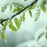 Черемуха в снегу. :: Александр Крылов