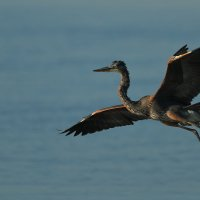 great blue heron :: Naum