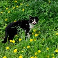 Кот в одуванчиках :: Нина Бутко