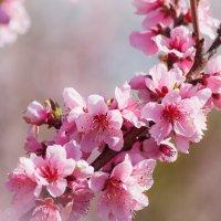 Цветущий персик :: Nyusha