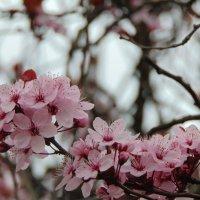 Весеннее цветение :: spm62 Baiakhcheva Svetlana