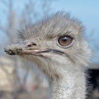 Крымский страус... :: Ирина Шарапова