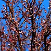 розовый колер весны :: Александр Прокудин
