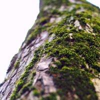 Мох на дереве :: Надежда Крылова