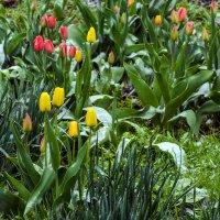 Тюльпаны без радости увидели снег. :: Владимир M