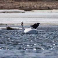 лебедь и ворона :: Наталья Литвинчук