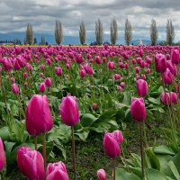 Цветут тюльпаны :: Alena Nuke
