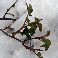 Чайная роза в снежном плену! :: Наталья