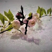 Абрикосовый цвет на апрельском снегу :: Valentina Ariel