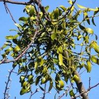 Этот паразит (омела) добрался и до плодовых деревьев :: Маргарита Батырева