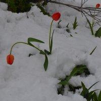 новый вид подснежников- тюльпаны обыкновенные :: Igor Osh