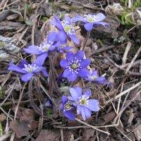 Цветы весны. :: ТАТЬЯНА (tatik)