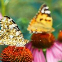 Бабочки :: Оксана Лада
