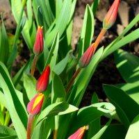Тюльпаны в марте... :: Тамара (st.tamara)