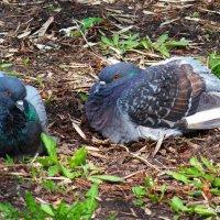 Голуби в городском саду.... :: Любовь К.