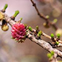 цветок лиственницы :: Анна Семенова