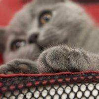 Мягколапая  русская  голубая  кошка. :: Людмила Волдыкова