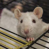 Свободная белая мышь. :: Людмила Волдыкова