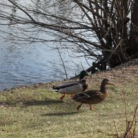 утки на озере :: elena manas