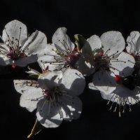 абрикоса цветёт :: Марина Ринкашикитока