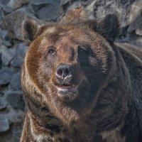 Медведица :: Владимир Габов