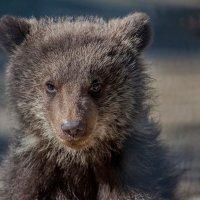 Медвежонок :: Владимир Габов