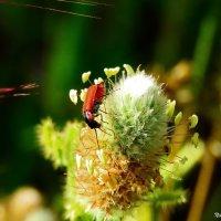 Красный жучек :: Николай Волков