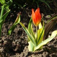 Тюльпан маленький, но славненький :: Маргарита Батырева
