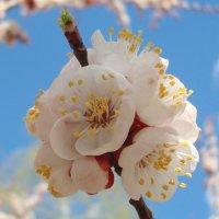 Абрикосовая весна :: Стас Борискин