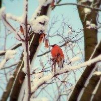Снегирь :: Miko Baltiyskiy