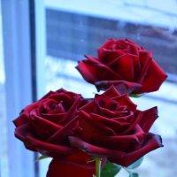 Розы. :: Oleg4618 Шутченко