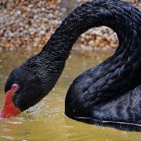 vit5 чёрный лебедь (1) :: Vitaly Faiv
