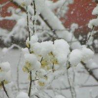 Снег в апреле... :: Наталья Полочанка