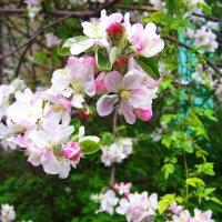 Яблони цветут....Весна 2014 была теплее.... :: Любовь К.