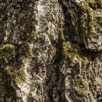 5 фон дерево берёза :: Василий Шестопалов