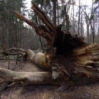 У этого дерева была, явно, большая жизнь :: Андрей Лукьянов