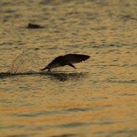 охота водореза на закате дня :: Naum