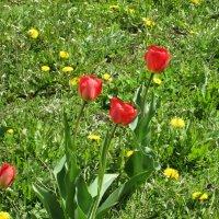 Первые тюльпаны :: Самохвалова Зинаида